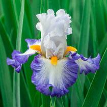 Brilliant Idea Bearded Iris