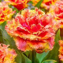 Brisbane Tulip