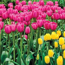 Pink Impression Tulip