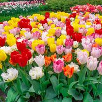 Fosteriana Tulip Mixture