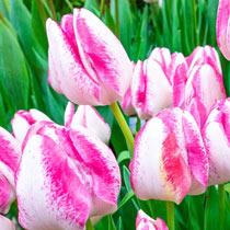 Del Piero Tulip