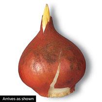 Flaming Club Tulip