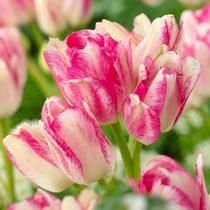 Dream Club Tulip
