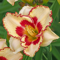 Cryptic Message Daylily