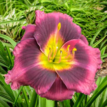 Midnight Dynamite Reblooming Daylily