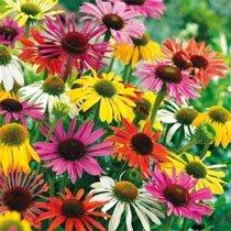 Butterfly Hybrids Coneflower Mixture