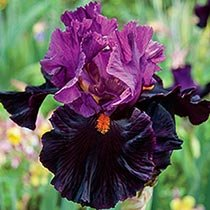Fiery Temper Bearded Iris