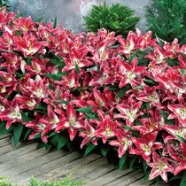 Entertainer® Oriental Carpet Border Lily™