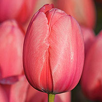 Guinevere Jumbo Perennial Tulip