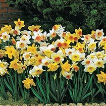 Daffodils for Naturalizing Mixture