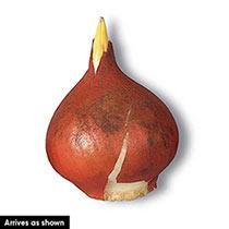 Scarlet Majesty™ Tulip