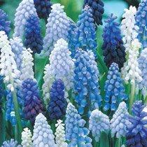 Grape Hyacinth Mixture