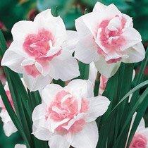Replete Daffodil