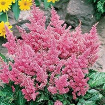 Deluxe Astilbe Collection