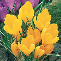 Yellow Mammoth Giant Dutch Crocus