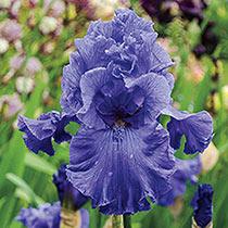Feedback Reblooming Bearded Iris