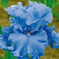 Merchant Marine Bearded Iris