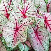 White Queen Fancy Leaf Caladium