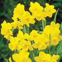 Sweetness Daffodil