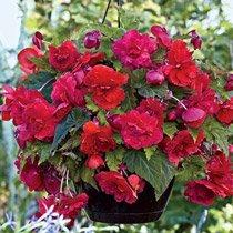 Red Glory Fragrant Hanging Basket Begonia