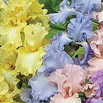 Pastel Iris Mixture