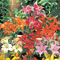 Asiatic Lily Mixed