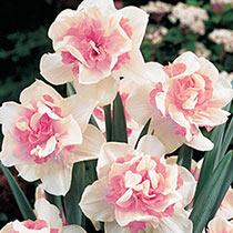 Double Daffodil Replete