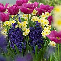 Tazetta Daffodil Minnow