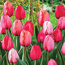 Darwin Hybrid Impression Tulip Mix