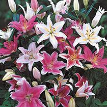 Oriental Lily Mix