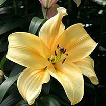 Giant Orienpet Lily Orania