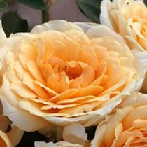 Edith's Darling™ Downton Abbey® Shrub Rose