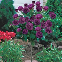 "Ebb Tide™ 24"" Patio Tree Rose"