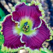 Mulberry Freeze Reblooming Daylily