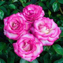 Miss Congeniality™ Grandiflora Rose