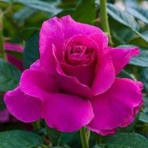 Pretty Lady Rose™ Downton Abbey® Hybrid Tea Rose
