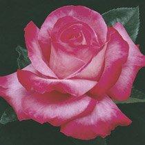 Elizabeth Taylor Hybrid Tea Rose