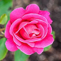 Fragrant Rose Garden Collections-3 Plants