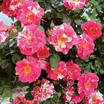 Candy Land Climbing Rose