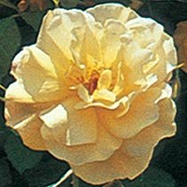 Autumn Sunset® Climbing Rose