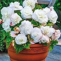 Superba Low-Growing Double Begonia Collection
