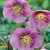 Helleborus Lady Collection