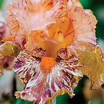 Cheetah Cheese Tall Bearded Iris