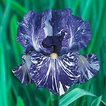 Royal Blue Batik Iris