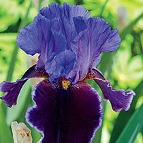 Violet Turner Reblooming Bearded Iris