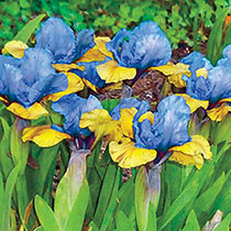 What Again Dwarf Iris
