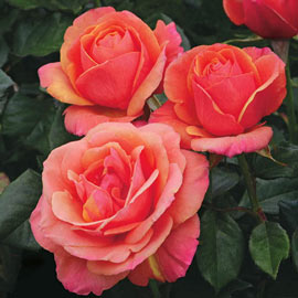 Brecks Anna's Promise<sup>®</sup> Hybrid Tea Rose