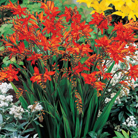 Brecks Fire King Crocosmia