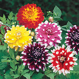 Brecks Kaleidoscope Dinnerplate Dahlia Collection