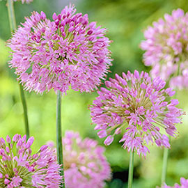 Brecks Nutans Allium